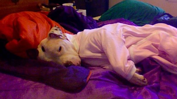 pitbull onesie