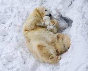 polar bear with baby