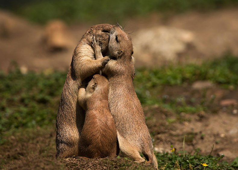 prairie dog with baby