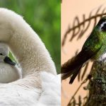 Animal Cuteness Battle – Swan vs Hummingbird