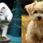 Animal Cuteness Battle – White Kitten vs Maltese Puppy