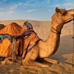 Animal Jigsaw Puzzles: Camel