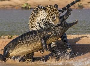 Jaguar hunting prey