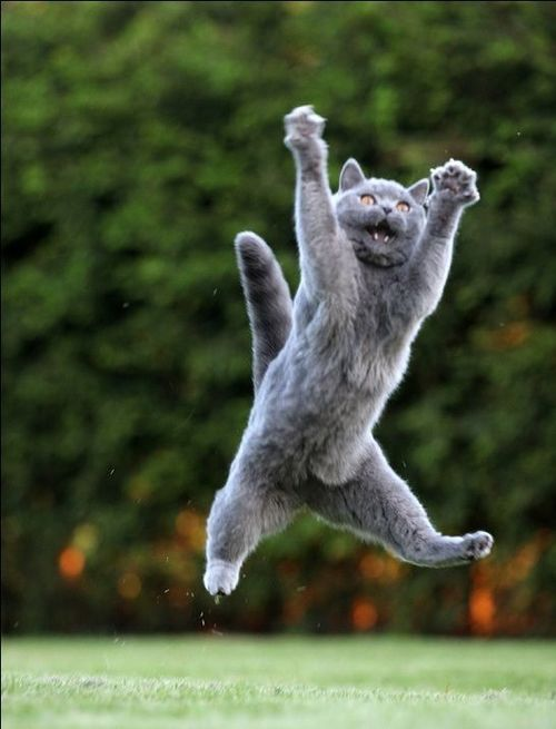 awesome pictures of jumping cats
