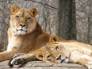 african_lionesses