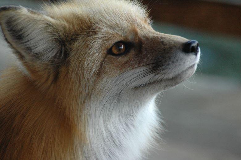 amazing fox photos