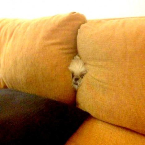 dog playing hide and seek10