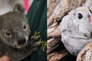 Animal Cuteness Battle – Koala Baby vs Flying Squirrel