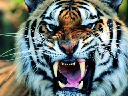 roaring-tiger