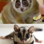 Animal Cuteness Battle – Slow Loris vs Sugar Glider