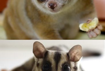 Animal Cuteness Battle – Slow Loris vs Sugar Glider