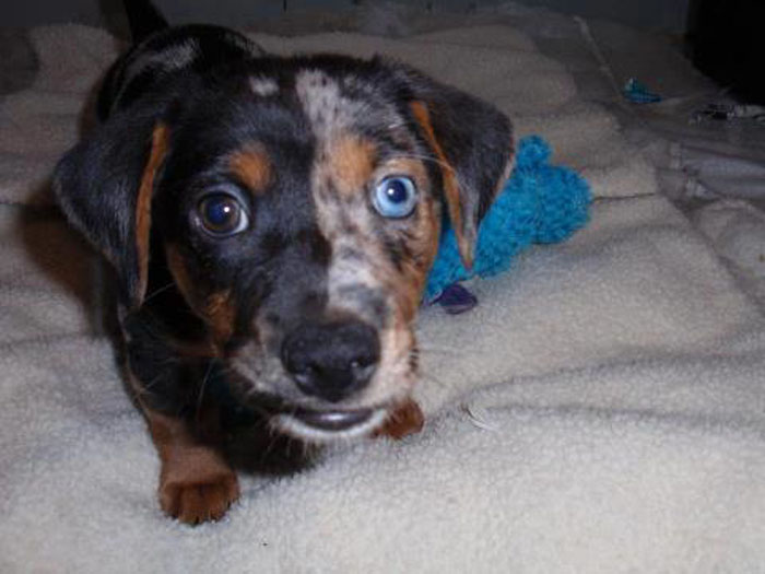 chimera puppy2
