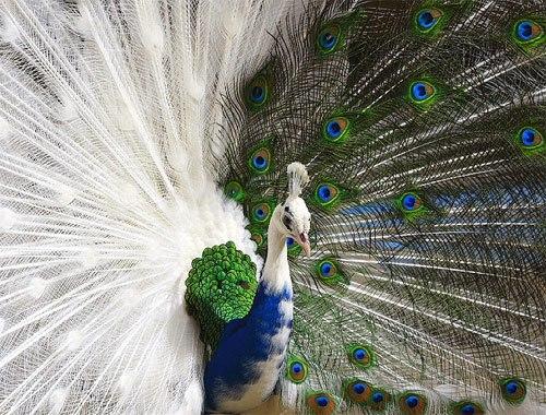 peacock chimera2