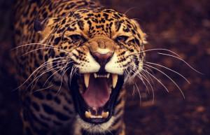 Leopard-Roaring