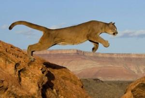 Puma-Jumping
