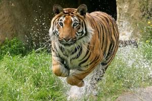 Running-tiger-landscape