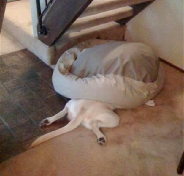 dogs who forgot how to sleep