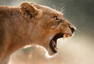lion-lioness-roar-roaring