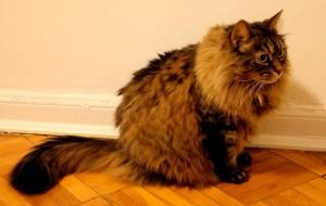 long hair cat
