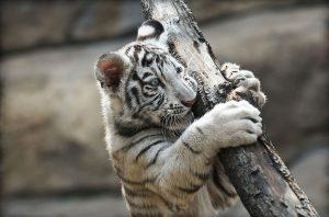 white_tiger_cub