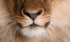 Lions-nose
