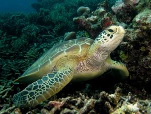 green-turtles