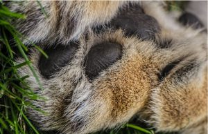 lion toes