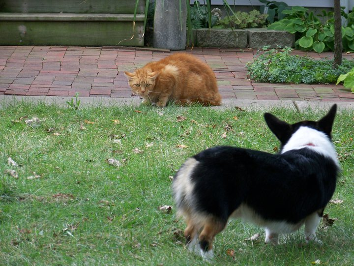 Corgi meets cat