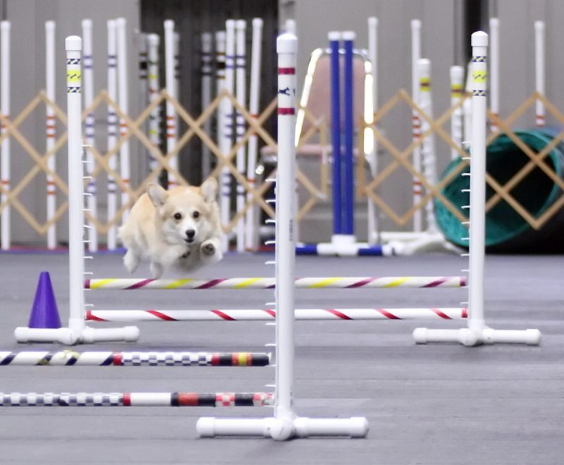 corgi agility jumps