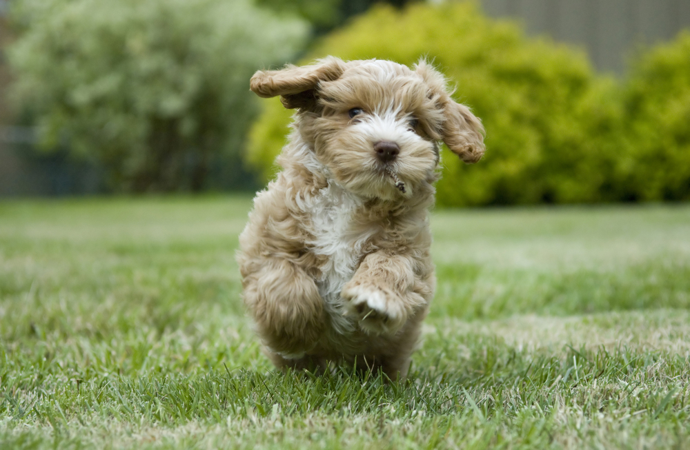 Most Popular Toy Dog Breeds