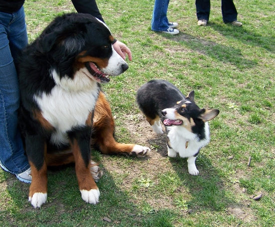 cogir and bernese mountain dog