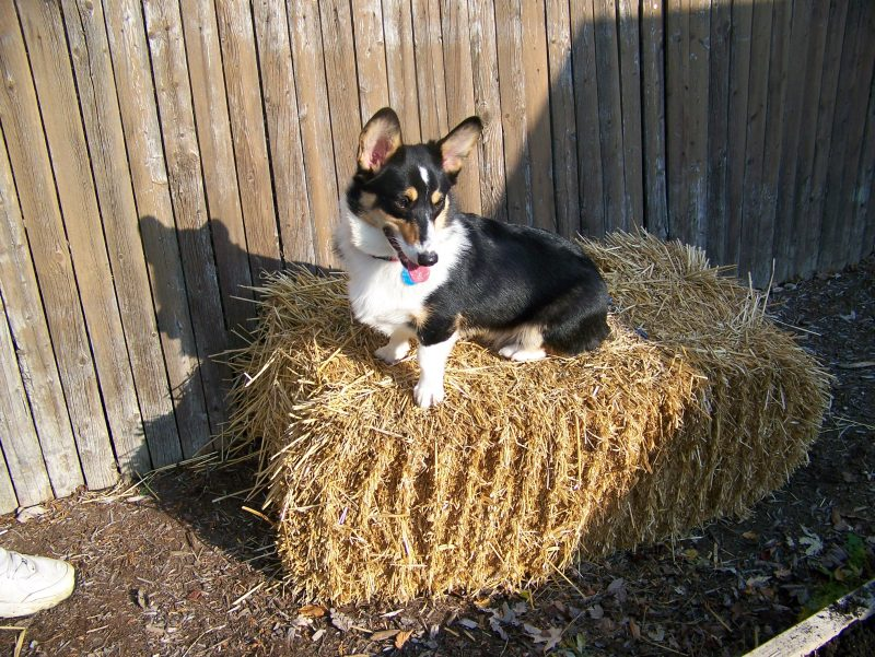 corgi on a straw bale