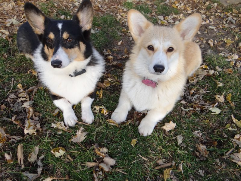 corgis in the fall