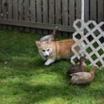 Wordless Wednesday, Corgi Duck Herding