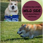 Enjoying The Corgi's Wild Side With #NaturalBalance