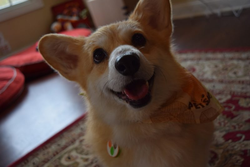 Corgi smiling after grooming