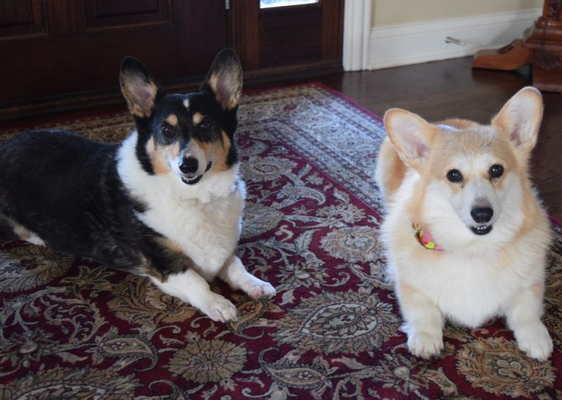 corgis ty and eve