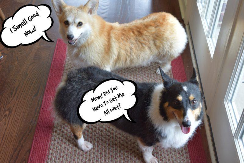 The dogs still damp after their baths.