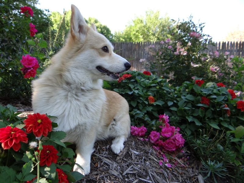 Corgi pet emergency fund